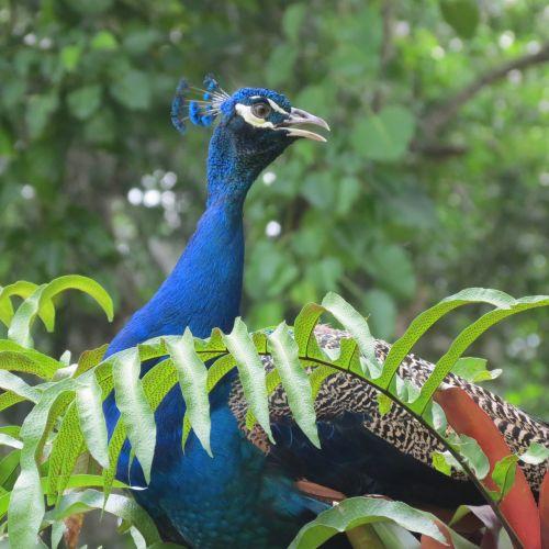 peacock venezuela yaracuy