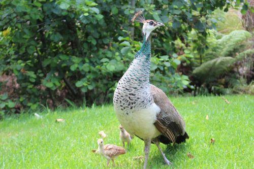 peacock chicks bird