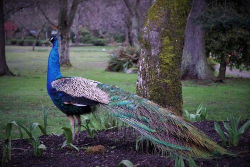 peacock bird beacon hill park