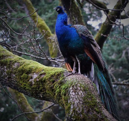 peacock bird tree