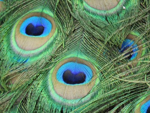 Povas plunksna,spalvinga,povo plunksna,peafowl