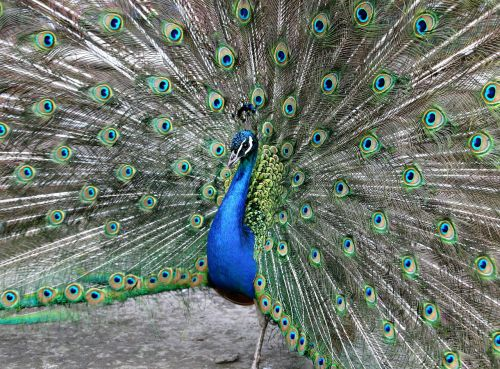 peacock tail male