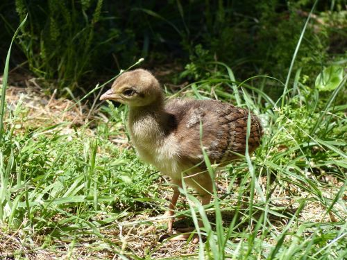 peacock chicks fluffy