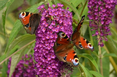 peacock aglais io butterfly
