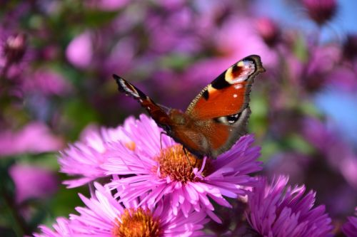 aster peacock butterfly