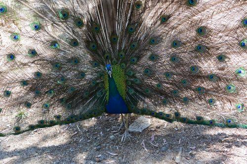 peacock bird fluffed up