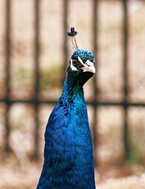 peacock peahen bird