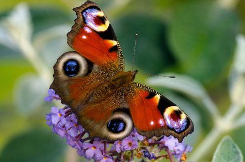 peacock butterfly edelfalter