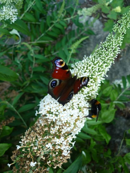 peacock nature butterfly