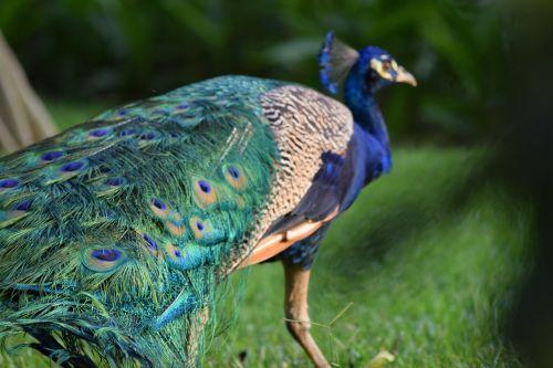 peacock,guatemala,blue,beauty,animal,nature,tourism