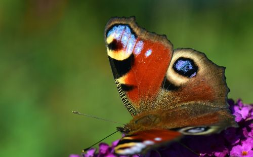peacock butterfly insect