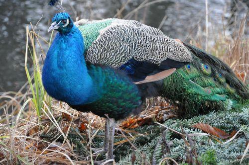 peacock bird park