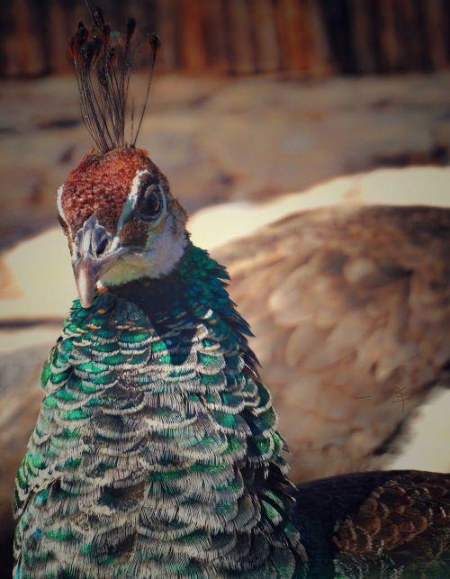 peacock datong animal