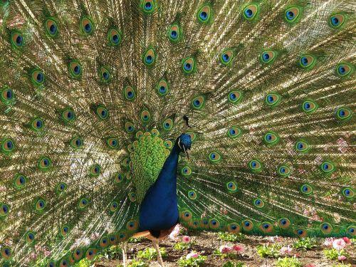 peacock pen tom