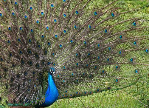 peacock hen eye