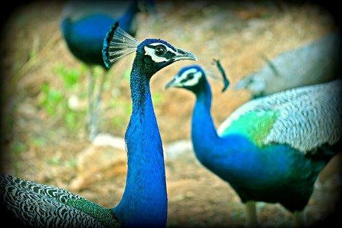 peacock  peahen  wildlife
