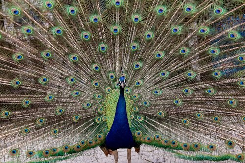 peacock  bird  animal