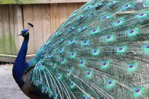 peacock  feather  peafowl