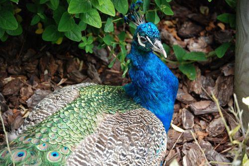 peacock tail feathers bird
