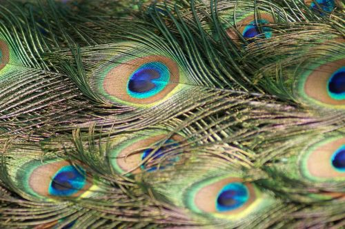 peacock feathers peacock feathers