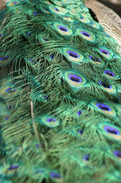 peacock feathers tail feathers