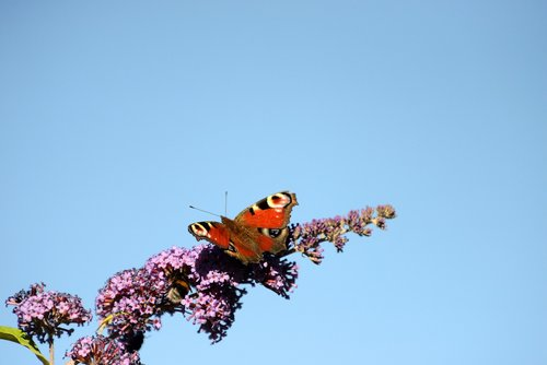 peacock  butterfly  butterflies