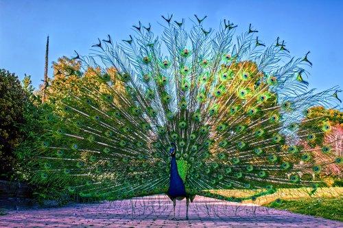 peacock  peafowl  bird