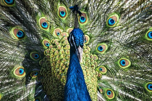 peacock  bird  noble