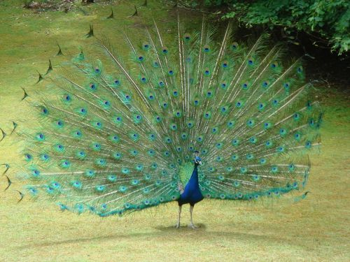 peacock tail feathers feathers