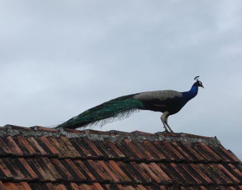 peacock rooftop bird