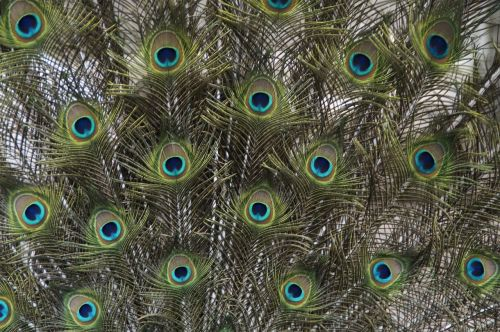 peacock beat rad peacock wheel
