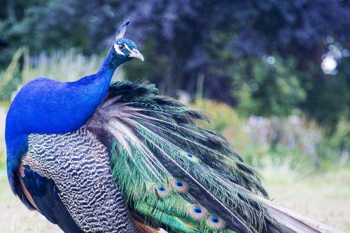 peacock animal wildlife