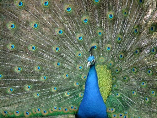 peacock pet birds