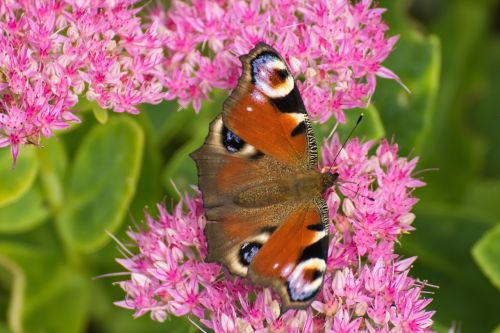 peacock butterfly aglais io inachis io