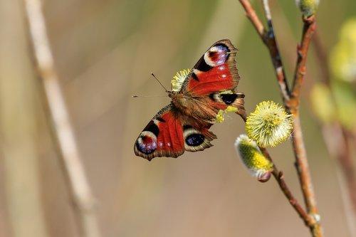 peacock butterfly  butterfly  age moths