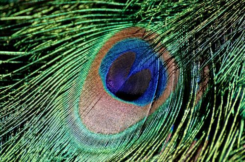peacock feather iridescent bird