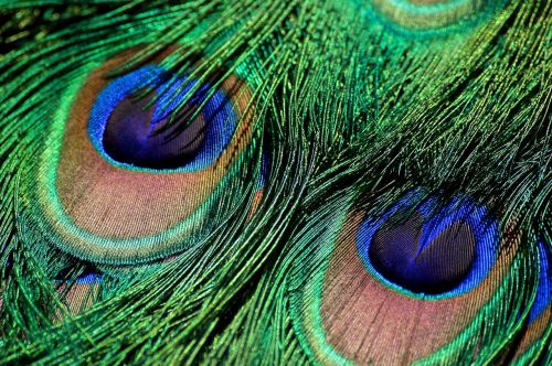 peacock feather iridescent green