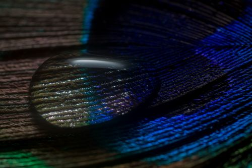 peacock feather feather drip