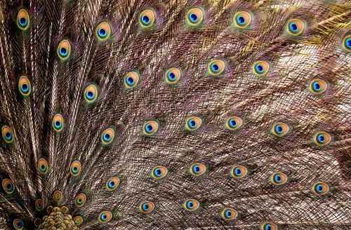 peacock feathers wheel plumage