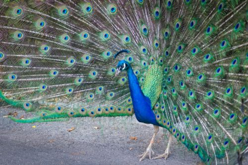 Peacock Strutting Feathers