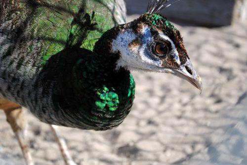 peahen peacock peafowl