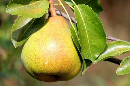 pear leaves fruit