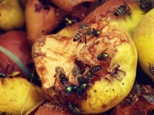 pear insect nature
