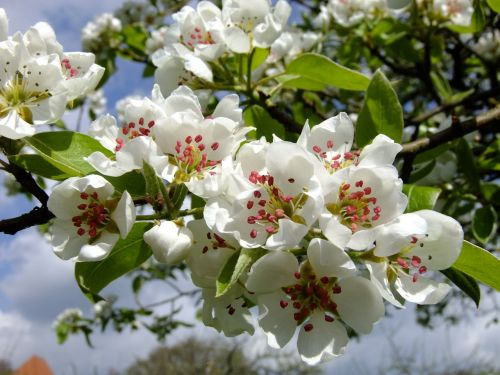 pear pear blossom spring