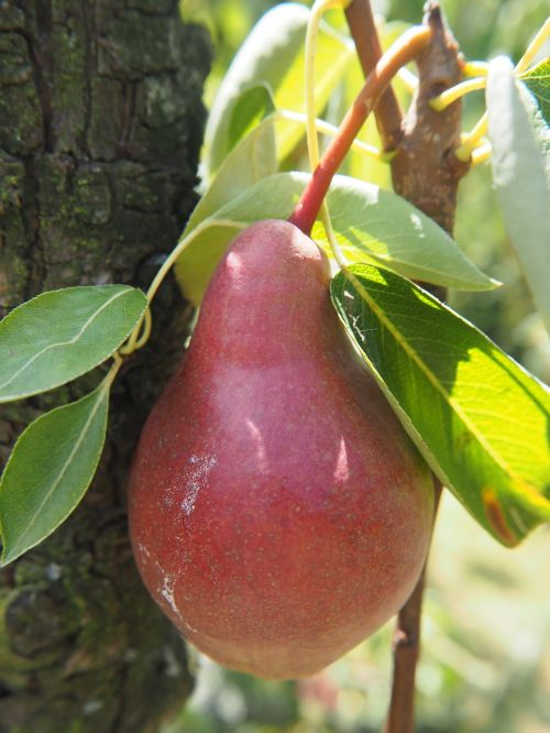 pear fruit garden
