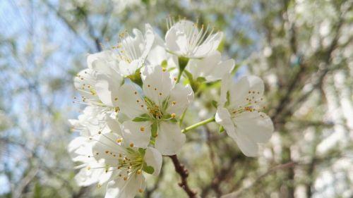 pear white pear flowers pear tree open flowers