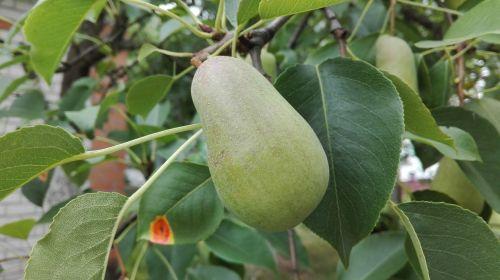pear august harvest