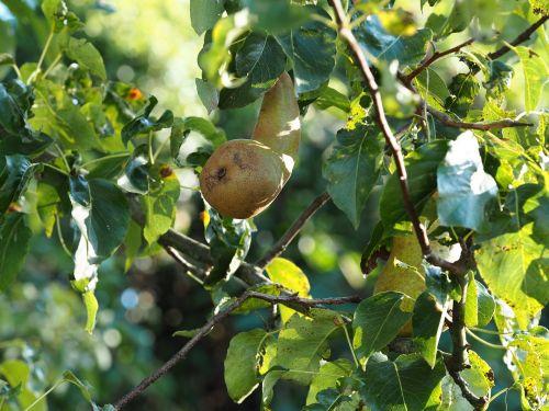 pear garden nature
