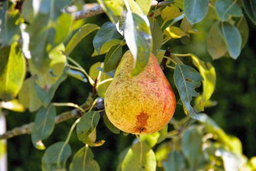 pear pear tree nature