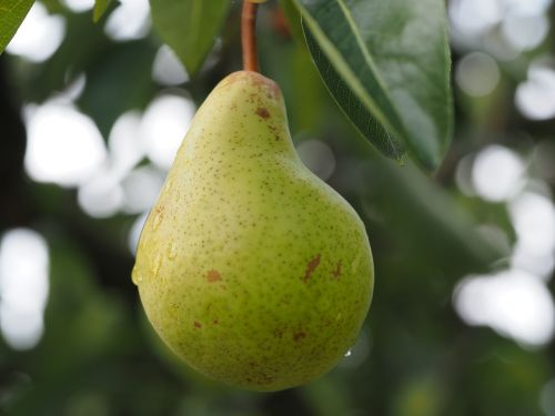 pear fruit fruits